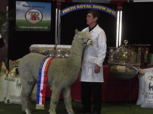 150927 Toffee Woods Magica Champion White Adult Female Huacaya at the Perth Royal Show